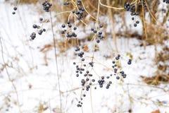 Μούρα του chokeberry aronia στους κλάδους το χειμώνα στοκ φωτογραφίες