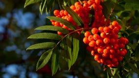 Μούρα του Rowan, δέντρο τέφρας βουνών με το ώριμο μούρο απόθεμα βίντεο