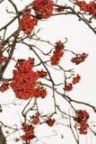 Μούρα του Rowan σε έναν κλάδο Στοκ φωτογραφία με δικαίωμα ελεύθερης χρήσης