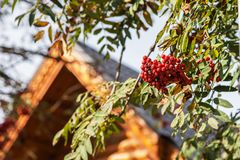Μούρα του Rowan το φθινόπωρο Στοκ Φωτογραφίες