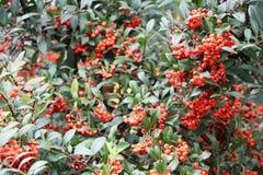 Μούρα του Rowan το φθινόπωρο στοκ φωτογραφία με δικαίωμα ελεύθερης χρήσης