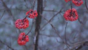 Μούρα του Rowan το χειμώνα απόθεμα βίντεο