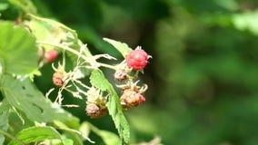 Μούρα των άγριων σμέουρων Ελαφρύ φύσηγμα αερακιού απόθεμα βίντεο
