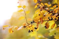 Μούρα φθινοπώρου και κίτρινα φύλλα στη βροχερή ημέρα η ανασκόπηση φθινοπώρου εύκολη επιμελείται τη φύση εικόνας στο διάνυσμα Στοκ Εικόνα