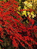 Μούρα φθινοπώρου Στοκ φωτογραφίες με δικαίωμα ελεύθερης χρήσης