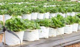 Μούρα φραουλών που αυξάνονται σε μια άσπρη πλαστική τσάντα Στοκ Εικόνες