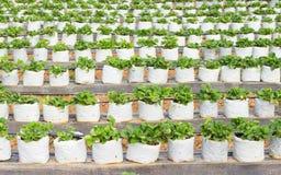Μούρα φραουλών που αυξάνονται σε μια άσπρη πλαστική τσάντα Στοκ εικόνες με δικαίωμα ελεύθερης χρήσης