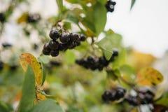 Μούρα Aronia στο δέντρο το φθινόπωρο Στοκ Εικόνα