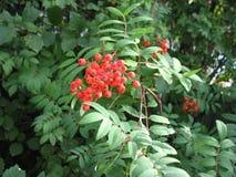 Μούρα ashberry Στοκ Εικόνες