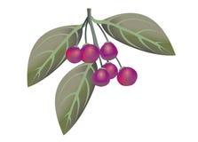 Μούρα buckthorn Rhamnus λαμπρός-φύλλων prinoides απεικόνιση αποθεμάτων
