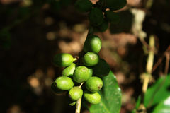 Μούρα Coffe στο δέντρο Στοκ Εικόνα