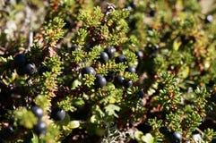 Μούρα Crowberry με τα φύλλα στον ήλιο στοκ εικόνες