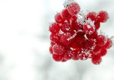 Μούρα Viburnum στο hoarfrost Στοκ εικόνες με δικαίωμα ελεύθερης χρήσης