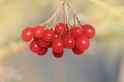Μούρα Viburnum υπαίθρια Κλάδος του viburnum Στοκ Φωτογραφία