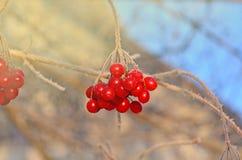 Μούρα Viburnum υπαίθρια Κλάδος του viburnum Στοκ εικόνες με δικαίωμα ελεύθερης χρήσης