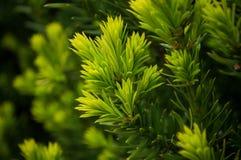 Μούρα Yew Στοκ φωτογραφίες με δικαίωμα ελεύθερης χρήσης