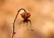 μούρο ξηρό Στοκ Εικόνες