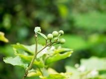Μούρο της Τουρκίας, μελιτζάνα μπιζελιών, μελιτζάνα, Solanum torvum Στοκ Εικόνα