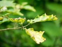 Μούρο της Τουρκίας, μελιτζάνα μπιζελιών, μελιτζάνα, Solanum torvum Στοκ εικόνα με δικαίωμα ελεύθερης χρήσης