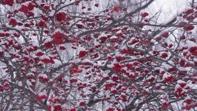 Μούρο του Rowan το χειμώνα φιλμ μικρού μήκους