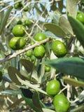 Μολυσμένη μεσογειακή ελιά από τα oleae Bactrocera μυγών φρούτων ελιών, το σημαντικότερο παράσιτο εντόμων των ελιών Ιταλία Τοσκάνη Στοκ Φωτογραφία
