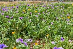 Μπάλωμα Wildflower του texanum Erodium λογαριασμών του πελαργού του Τέξας στοκ φωτογραφία