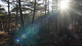 Μπάλωμα αστεριών του απεικονισμένου φωτός στο δάσος στο ηλιοβασίλεμα φιλμ μικρού μήκους