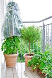 Μπαλκόνι δοχείων εγκαταστάσεων φραουλών δεντρολιβάνου ντοματών στοκ εικόνα