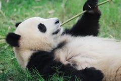 μπαμπού που τρώει το panda Στοκ Εικόνα