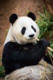 μπαμπού που τρώει το panda Στοκ Φωτογραφίες