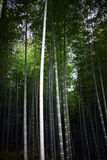 Μπαμπού Arashiyama Στοκ εικόνες με δικαίωμα ελεύθερης χρήσης