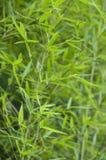 Μπαμπού, arundinacea bambusa Στοκ Εικόνα