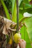 Μπανάνα ανθών Στοκ Εικόνες
