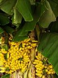 Μπανάνα με τη δέσμη Στοκ εικόνα με δικαίωμα ελεύθερης χρήσης