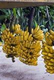 Μπανάνα, μούσα SSP στοκ εικόνες
