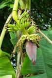 μπανάνα που καλλιεργείτ&al Στοκ εικόνες με δικαίωμα ελεύθερης χρήσης