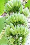 μπανάνα που καλλιεργείτ&al Στοκ φωτογραφίες με δικαίωμα ελεύθερης χρήσης