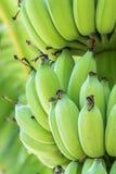 μπανάνα που καλλιεργείτ&al Στοκ Φωτογραφίες