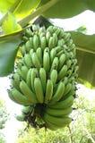μπανάνα πράσινη Στοκ εικόνα με δικαίωμα ελεύθερης χρήσης