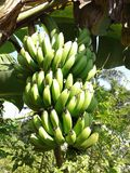 μπανάνες ακατέργαστες Στοκ Φωτογραφίες