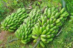 μπανάνες ακατέργαστες Στοκ εικόνες με δικαίωμα ελεύθερης χρήσης