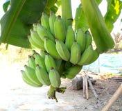 Μπανάνες με τις πράσινες φλούδες Στοκ εικόνα με δικαίωμα ελεύθερης χρήσης