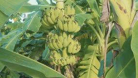 Μπανάνες που αυξάνονται στο δέντρο στη φυτεία μπανανών απόθεμα βίντεο