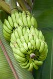 μπανάνες πράσινες Στοκ φωτογραφία με δικαίωμα ελεύθερης χρήσης