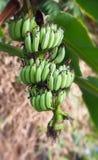 μπανάνες πράσινες Στοκ Φωτογραφία