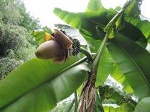 Μπανάνες σε έναν φοίνικα Ανθίζοντας φοίνικας μπανανών στοκ φωτογραφία με δικαίωμα ελεύθερης χρήσης