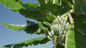 Μπανάνες στην Κέρκυρα απόθεμα βίντεο