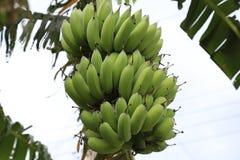 Μπανάνες στο δέντρο μπανανών Στοκ φωτογραφίες με δικαίωμα ελεύθερης χρήσης
