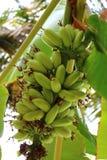 Μπανάνες στο δέντρο Στοκ Φωτογραφίες