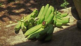 Μπανάνες στο έδαφος φιλμ μικρού μήκους